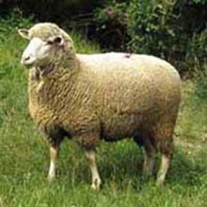 merinewolle